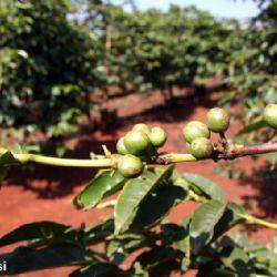 pianta del caffe a Nyeri - reportage Kenya