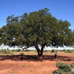 Karamoja, pianta di tamarindo