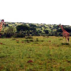 giraffe a Marchison Park